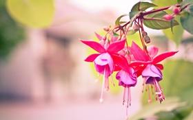 Обои цветы, фон, ветка, розовые, фуксия
