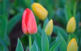 Обои капли, тюльпаны, жёлтые, тюлпан, красный, цветы
