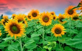 Обои поле, небо, облака, цветы, подсолнух