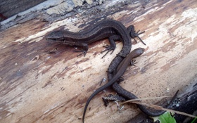 Обои ящерица, Ящер, Reptile