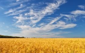 Картинка пшеница, поле, лес, лето, небо, облака, колосья