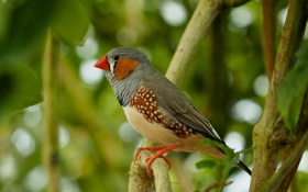 Обои птица, краски, ветка, клюв, Австралия, зяблик