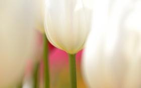 Обои макро, цветы, тюльпаны, белые