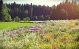 Картинка лес, лето, трава, солнце, деревья, цветы, ель