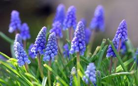Обои цветы, вверх, синие, гроны
