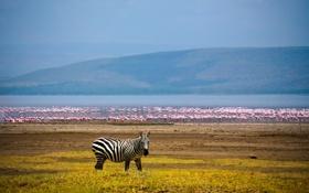 Обои озеро, фон, зебра, африка, фламинго