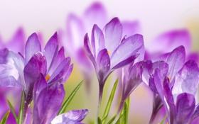 Обои цветы, лепестки, крокусы