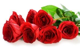 Картинка цветы, розы, лепестки, красные розы