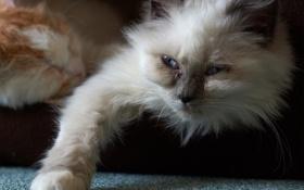 Обои кошка, кот, отдых, лапа, лежа