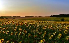Картинка поле, подсолнухи, пейзаж, закат