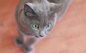 Обои кошка, глаза, дом