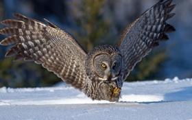Картинка зима, снег, сова, птица, крылья, охота