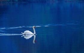 Обои вода, природа, обои, лебедь