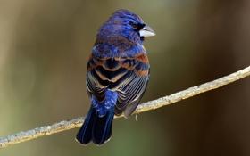 Картинка фон, птица, ветка, Голубая гуирака