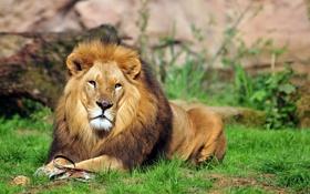 Обои кошка, трава, взгляд, отдых, лев