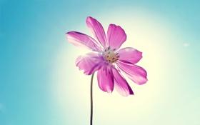 Обои цветок, небо, солнце, свет, лепестки, flower, sky