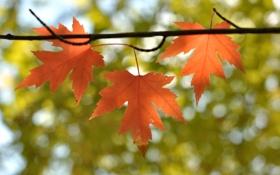 Обои листья, ветка, клен, осень, природа