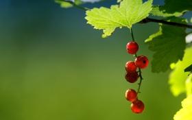 Обои ягода, смородина, лето