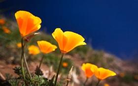 Картинка море, трава, цветы, маки, лепестки, склон