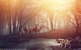 Обои лес, животные, взгляд, опасность, берег, хищник, волки