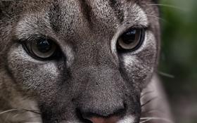 Картинка кугуар, горный лев, дикая кошка, пума, хищник, взгляд