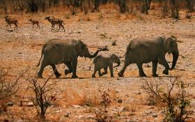 Картинка животные, Африка, слоны, семейство