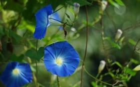 Обои цветы, природа, синие, лиана, вьюнок, ипомея