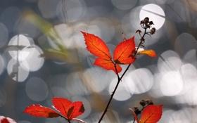 Обои красные, листья, ветка