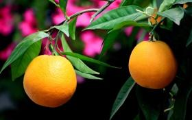 Обои листья, ветки, апельсины, плоды, дерево