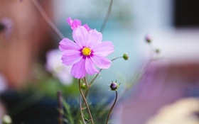 Обои розовый, цветок, лепестки