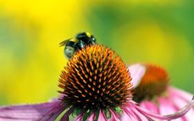 Обои цветок, лепестки, насекомое, шмель, эхинацея