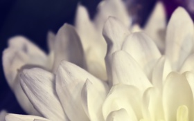 Обои 2560x1600, цветок, macro, лепестки, макро, цветы