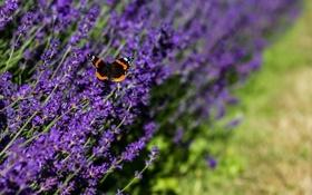 Обои природа, бабочка, лаванда, цветы