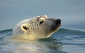 Обои вода, природа, Polar Bear
