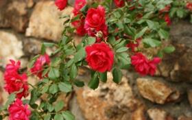 Картинка красные, розы, куст, лепестки, цветы