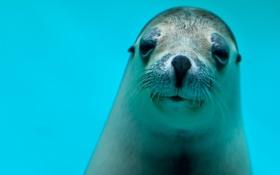 Обои тюлень, смотрит, голубая вода