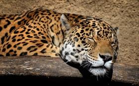Обои спит, морда, ягуар