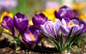 Обои цветы, природа, весна, лепестки, крокусы, бутоны, первоцвет
