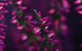 Обои цветок, размытость, бутоны, цветение, малиновый