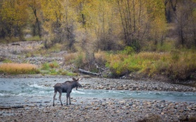 Картинка осень, лес, берег, речка, лось