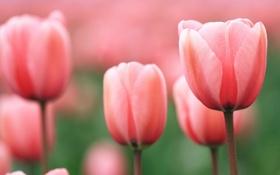 Обои природа, тюльпаны, макро