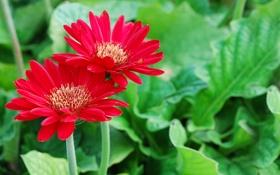 Обои красные, лепестки, цветы