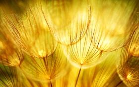 Обои макро, природа, одуванчики, золотые, соцветие, Golden dandelions