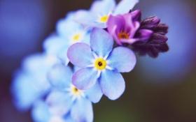 Картинка макро, цветы, голубые, незабудки