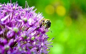 Обои лето, цветы, пчелы
