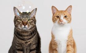 Обои взгляд, серый, фон, коты, Кошки, рыжий, двое