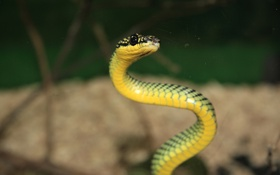 Обои глаза, макро, змея, фокус
