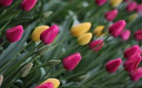 Картинка тюльпаны, бутоны, клумба, цветы