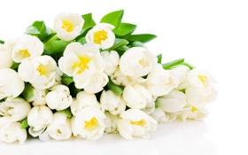 Обои цветы, тюльпаны, белые тюльпаны