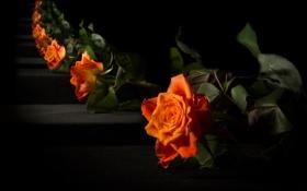 Картинка цветы, роза, зеркало